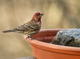 _MG_7184 House Finch Male