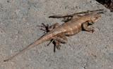 _MG_4700 Eastern Fence Lizard March 1