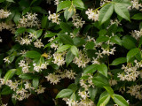 P1030946 Confederate Jasmine