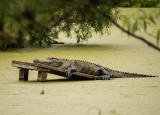P1040313 Alligator