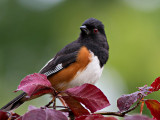 _MG_8501 Finally - A Decent Towhee Picture!