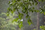 P7136367 Downpour