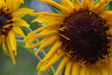 _MG_0194 Post Rain Sunflower