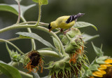 _MG_0334 Goldfinch Lust