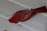 _MG_0419 Cardinal Mishap