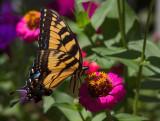 _MG_0440 Swallowtail on zinnia