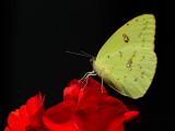 _MG_0480 Cloudless Sulphur Butterfly