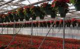 IMG_8400Poinsettias.jpg