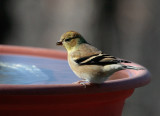 _MG_0895 Goldfinch