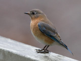 _MG_0432 Bluebird