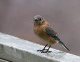 _MG_0433 Bluebird
