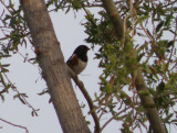 Sparrow Towhee spotted 4 Irvine CA 4-11.JPG