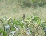 Sparrow Grasshopper 08-11 VA a.JPG