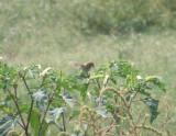 Sparrow Grasshopper 08-11 VA b.JPG