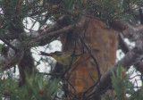 warbler Palm Bloom.Bog Adir NY 07 a.JPG