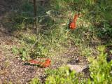 Cardinal MB SC 6-07 a.JPG