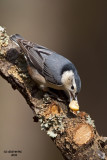 White-breasted Nuthatch. Chesapeake, OH