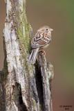 Field Sparrow, Chesapeake, OH