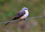 Scissor-tailed Flycatcher. Kewaunee, WI