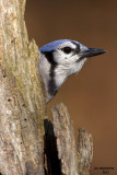Blue Jay, Chesapeake, OH