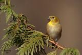 American Goldfinch. Chesapeake,OH