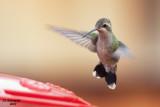 Imm. Female Broad-billed Hummingbird. Mequon, WI