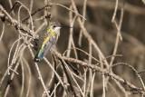 Broad-billed Hummingbird. Mequon, WI