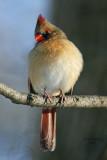 Northern Cardinal. Grant Park, Milwaukee