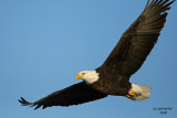 Bald Eagle. Mississippi River, Wisconsin
