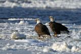 Bald Eagles. Mississippi River, Wisconsin