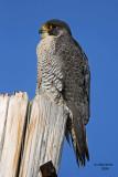 Peregrine Falcon. South Shore Yacht Club, Milw