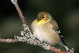 American Goldfinch. Newburg, WI