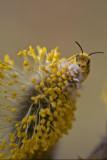 Abeille sur un châton de saule p'tits-minous (Pussy willow)