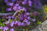 Abeille butinant sur des fleurs de thym serpolet