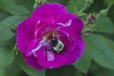 Bourdon butinant une rose