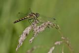 Sympétrum noir / Black Meadowhawk female (Sympetrum danae)