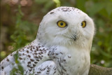 Harfang des neiges / Snowy Owl (Bubo scandiacus)