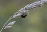 Chrysomèle de l'asclépiade - Milkweed labidomera