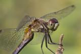 Sympétrum à dos roux / Ruby Meadowhawk female (Sympetrum rubicundulum)