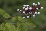 Actée blanche / White baneberry (Actaea pachypoda)