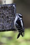 Pic mineur - Downy Woodpecker (Picoides pubescens)