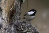 Mésange à tête noire - Black-capped Chickadee (Parus atricapillus)