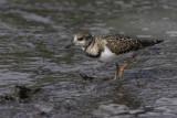 Tournepierre à collier (plumage d'hiver) / Ruddy Turnstone (Arenaria interpres)