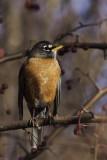 Merle d'Amérique - American Robin (Turdus migratorius)