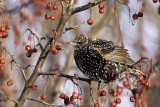 Étourneau sansonnet - European Starling (Sturnus vulgaris)