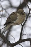 Tourterelle triste / Mourning Dove (Zenaida macroura)