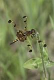 Célithème indienne (femelle) - Calico pennant