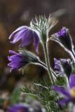 Pulsatille commune / Pasque Flower (Pulsatilla vulgaris)