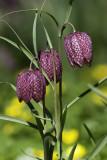 Fritillaire oeuf de pintade / Snake's Head Fritillary (Fritillaria meleagris)