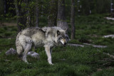 Loup gris / Gray Wolf (Canis lupus)